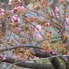 八重桜と嵐