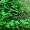 ミクロソリウム植栽8ヶ月目