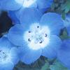 今日の誕生花「ネモフィラ」群落は死ぬまでに一度は見たい絶景!