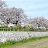 瀬野川の桜2021
