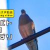 キジバトの鳴き声【野鳥図鑑・鳴き声図鑑】Streptopelia orientalis Turtledove