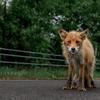 PORTRAIT KITA-KITUNE (Ezo red fox) - 冬毛と夏毛のはざま