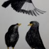 鳥の宿命 ハッカチョウ