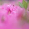 満開のピンク