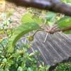 河津桜のサクランボウ 🍒