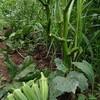 無農薬オクラ@新潟EMBC複合発酵バイオで栽培する健康農産物