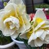 開花が進んだよ🌸