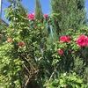 我が家の美しきバラたちと