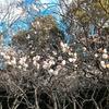 枚方「意賀美神社」の梅と蕎麦屋