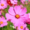 コスモスの花の中には宇宙がある