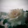 春乃 -2番花が6輪ー