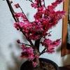 満開の梅の盆栽 初春玉手箱 ハシボソミズナギドリ 飛ぶミツユビカモメ