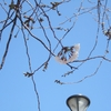 開花宣言が出るも近所の公園の桜は遠慮がちに花をつけていた