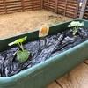 庭メロン 大きくなってきた!