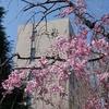 神戸大学キャンパス、桜めぐり。桜満開。春爛漫。