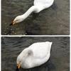 【三条市・下田】『白鳥の郷公苑』で白鳥の川流れを見てきました^^