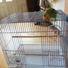 セキセイインコの「鳥カゴ掃除」