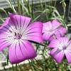 【アグロステンマ】花壇のアグロステンマが開花!花言葉や名前の由来は?