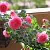 水遣り後のバラ