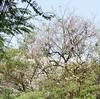 タイの桜-今年3回目の開花/Chompoo Pantip of Thailland