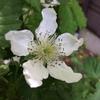 ブラックベリーとカシス、対照的な花の味わい