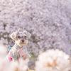 Sakura 100%