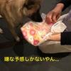 保護犬ホシ 生後6ヶ月 生理来ました! 2日目の犬の行動