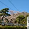 函館山の麓で100年桜  元町水元…