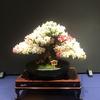 華麗な盆栽さつき@さつきまつりin牧野植物園