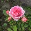 薔薇の開花〜ミニ薔薇が咲き始めました〜♪