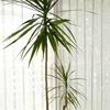 冬越し後の観葉植物1