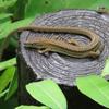 トカゲ・カナヘビ・ヤモリ・イモリの違いは何?見分け方を写真で解説