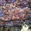 河津桜が鮮やかなピンクに染まってました