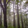 05 雨上がり の  ブナ林