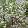 網戸の張り替え~さくらんぼの花🍒