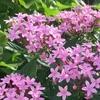 春~秋の庭にピンクの星空!花期の長いペンタス 成長記録