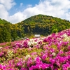 【GWも開園中】三室戸寺のツツジ園へ【4/30散策記】