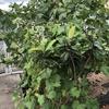 庭のイチジクの木は野鳥とスズメ蜂に好かれて困ります🐤