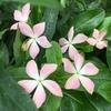 真夏の花壇にピンクの星が瞬く! 星咲きニチニチソウ「初恋」
