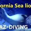 アシカと潜る「California Sealion生息地」LAPAZ