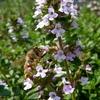 タイムの花にミツバチ?