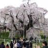【観光】日本三大さくら三春滝桜と花見山に行く