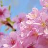 今日の景色 03/11 桜
