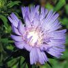 今日の誕生花「ストケシア」