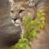 ピューマ Puma concolor