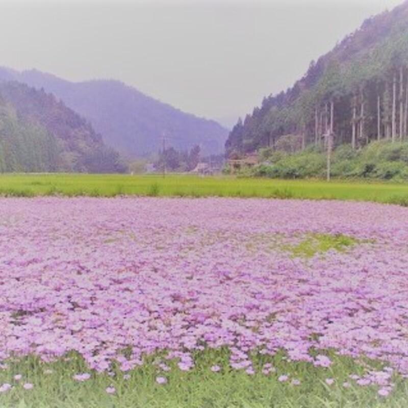 京都の隠れ避暑地で発見!花の色が変わる不思議なお花畑