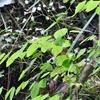 コゴメカラマツ 細い茎、小さな花、なんと繊細な!
