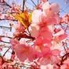 河津桜??