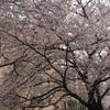 見沼用水沿いの桜もやっと満開です