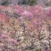 梅が見頃となった大阪城公園の梅園で撮影。メジロとか、阿倍野で明石焼きの名店「たこつぼ」とか